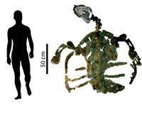 Das Skelett der fossilen Meeresschildkröte ist knapp 2 Meter lang. Quelle: © PaleoBios/Cadena (idw)