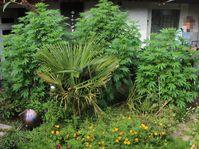 Cannabispflanzen Bild: Polizei