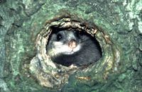 Siebenschläfer - Bildquelle: Deutsche Wildtier Stiftung
