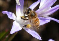 Biene: RoboBee könnte künftig bestäuben. Bild: pixelio.de, S. Abel