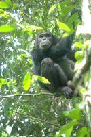 Schlangen werden von Schimpansen gefürchtet. Dieser hier hat sich auf einen Baum geflüchtet. Bild: R. Wittig/MPI f. evolutionäre Anthropologie (idw)