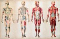 Anatomie des Menschen: nur wenig Wissen vorhanden. Bild: lancaster.ac.uk