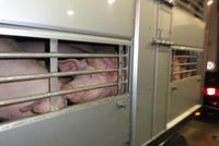 Blutverschmierte Schweine auf einem Tiertransport Bild: VIER PFOTEN