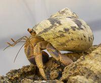 Erwachsener Einsiedlerkrebs der Art Coenobita clypeatus, der sich ein abgelegtes Schneckenhaus zunutze macht: Deutlich zu sehen sind die beiden Antennenpaare. Auf den inneren, nach oben gekrümmten Antennen befinden sich die Geruchssinneszellen. Die Geruchswahrnehmung von Einsiedlerkrebsen ist, verglichen mit Insekten, noch unterentwickelt. Quelle: Max-Planck-Institut für chemische Ökologie/ Krång (idw)