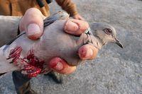 Angeschossene Turteltaube auf Malta. Bild: Birdlife Malta
