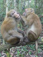 Männchen-Weibchen Freundschaft bei Assam-Makaken. Quelle: Foto: Universität Göttingen (idw)