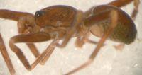 Otacilia loriot ist eine kleine Spinne mit großem Namen Quelle: © Senckenberg (idw)