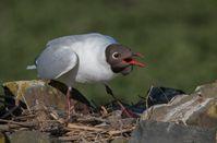 Bild:     Komitee gegen den Vogelmord e. V.
