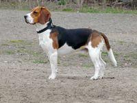 Der Beagle ist eine von der FCI anerkannte britische Hunderasse.