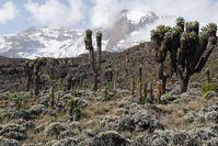 Die Vielfalt an Pflanzen und Tieren nimmt mit sinkender Temperatur ab. Das Foto entstand am Kilimandscharo auf einer Höhe von etwa 3.800 Metern. Quelle: (Foto: Andreas Ensslin) (idw)