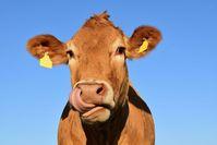 Kuh (Symbolbild)