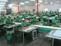 """Blumenindustrie in Afrika: 80 Prozent aller in Deutschland verkauften Rosen stammen aus der sogenannten """"3. Welt.""""  Bild: ZDF und Steffen Bayer"""