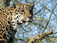 Jaguar: Bedrohte Tierart soll geklont werden. Bild: pixelio.de, R. van Melis