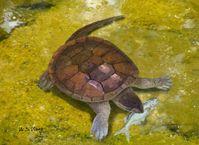 Lebendrekonstruktion der Schildkröte Xiaochelys ningchengensis im Süßwasser beim Erbeuten eines kleinen Fisches (Lycoptera), der in der gleichen Schicht gefunden wurde wie die Schildkröte. Quelle: Abbildung: W. S. Wang (idw)