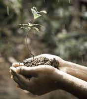 Zartes Pflänzchen: Neue Bäume lösen Klimaproblem nicht.