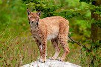 """Der Luchs gehört zu den seltensten Wildtieren Deutschlands und kommt unter anderem im Bayerischen Wald vor.  Bild: """"obs/3sat/Axel Gomille"""""""