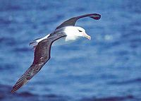 Schwarzbrauenalbatros (Thalassarche melanophris) Bild: Original uploader was Kils at de.wikipedia Later versions were uploaded by ArtMechanic at de.wikipedia