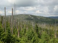 Durch Borkenkäfer abgetötete Fichten am Lusen im Nationalpark Bayerischer Wald. Ökologen plädieren dafür, diese Form des Totholzes vermehrt im Wald zu belassen. Quelle: Simon Thorn / Universität Würzburg (idw)
