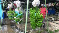 """Bio-Bananen aus Ecuador vor der Verschiffung nach Deutschland. / Bild: """"obs/ZDF/Daniel Meinl"""""""