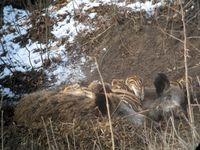 Weibchen (Bache) mit Jungtieren (Frischlingen)
