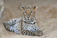 Java-Leopard (Panthera pardus melas). Quelle: Foto: Kern C. / Tierpark Berlin (idw)