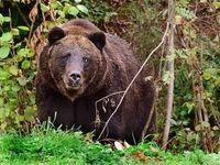 Bär: Selfie-Jäger unterschätzen Wildtiere enorm. Bild: Rudolpho Duba/pixelio.de