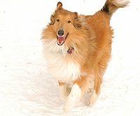 Collie im Schnee: Pfoten-Trick erlaubt Freilauf im Winter. Bild: Flickr/Tsua