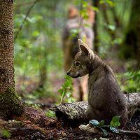 10.000 Euro Belohnung setzt der WWF für sachdienliche Hinweise aus. Bild: Wild Wonders of Europe /Sergey Gorshkov / WWF