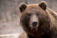 Der aktuelle Schutzstatus des Braunbären (Ursus arctos) sollte überdacht werden, so die Studienautor Quelle: Foto: bodsa / Pixabay.com / CC0 Public Domain ( (idw)