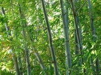 Bambus: Material bald künstlich herstellbar. Bild: pixelio.de/Manfred Schütze
