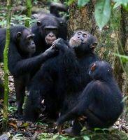 Schimpansen bei Teilen von Nahrung.