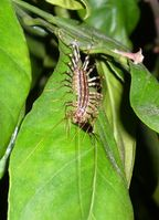Eine Spinnenläufer (Scutigera Coleoptrata) ißt einen Blattlausliebhaber. Diese Insekten sind vor allem in Süddeutschland und Weinbaugebieten anzutreffen.
