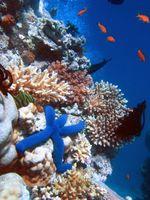 Korallenstock mit einem Blauen Seestern (Linckia laevigata)