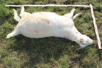 Eine der getöteten Ziegen mit sichtbaren Einschüssen Bild: Polizei