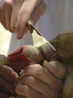 Schächtung eines Huhns