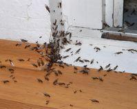 Ameisen, die aus einer Fußbodenleiste eines Hauses kommen