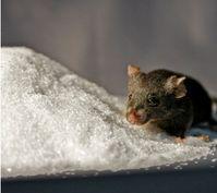 Zucker und Mäuse ohne Serotonin halfen, die Verbindung zwischen Diabetes mellitus und dem 'Wohlfühl'-hormon Serotonin aufzudecken. Bild: Nils Paulmann, MPIMG