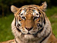 Sibirischer Tiger Bild: S. Taheri, edited by Fir0002 / de.wikipedia.org