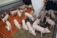 Schweinehaltung im Stall Quelle: Universität Göttingen (idw)