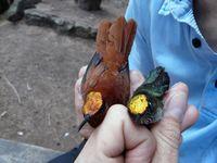 Juan Fernandez-Kolibris, männl. (li) und weiblich Quelle: Ingo Hahn (idw)
