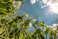 Auf bundesweit über 80.000 ha Anbaufläche reifen aktuell Körnererbsen heran.  Bild: UFOP Fotograf: Fotograf: Daniel Schneider