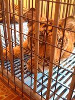 Tigerbabys in winzigen Käfigen. Bild: PETA