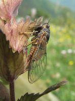 Cicadetta sibillae hat einen hohen Gesang und bringt es auf etwa 4 Zentimeter Flügelspannweite. Quelle: Universität Basel / Thomas Hertach (idw)