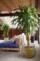 """Höchste Zeit, sich mit dem Drachenbaum ein warmes Sommergefühl in die eigenen vier Wände zu holen. Bild: """"obs/Blumenbüro/Pflanzenfreude.de"""""""