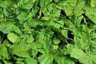 Spinat: sauberer Treibstoff aus dem Gemüsebeet. Bild: pixelio.de/W. Wagner