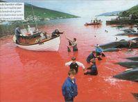 Färöer-Walmord überschattet Rettungsversuche angestrandeter Meeressäuger (Foto: FX Pelletier) Bild: WDSF (pressrelations)
