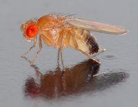 Taufliege (Drosophilidae), auch Frucht-, Obst-, Gär-, Most- oder Essigfliege genannt. Bild: André Karwath aka Aka / wikipedia.org
