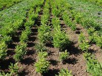 Junge Fichten (Picea abies) aus mehreren Populationen im Pflanzgarten bei Matzendorf (Kt. Solothurn). Deutlich erkennbar sind die unterschiedlichen Baumhöhen der einzelnen Herkünfte. Quelle: Aline Frank / WSL (idw)
