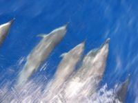 Delfine werden vom Menschen gestört. Bild: pixelio.de/V. Plack
