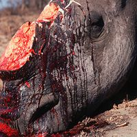 Gewildertes Nashorn Bild: © Martin Harvey / WWF-Canon